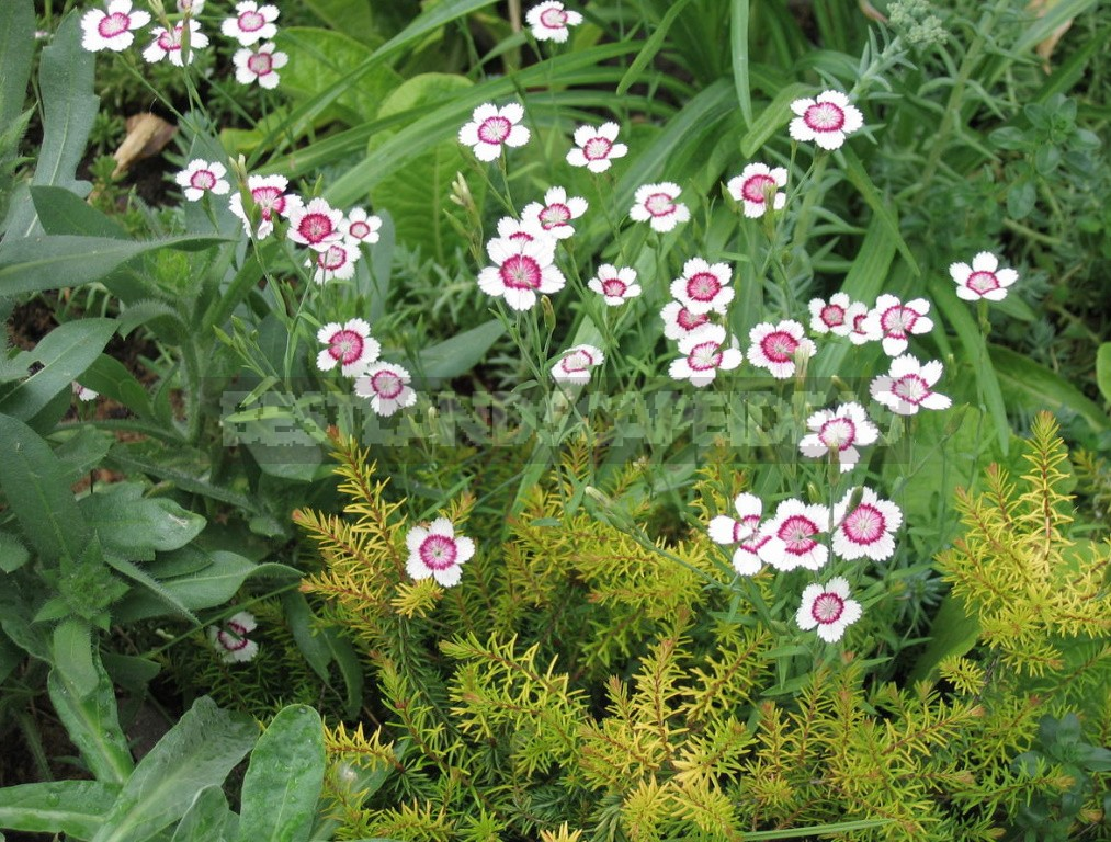 Perennial Carnations: Low-Growing And Small-Flowered