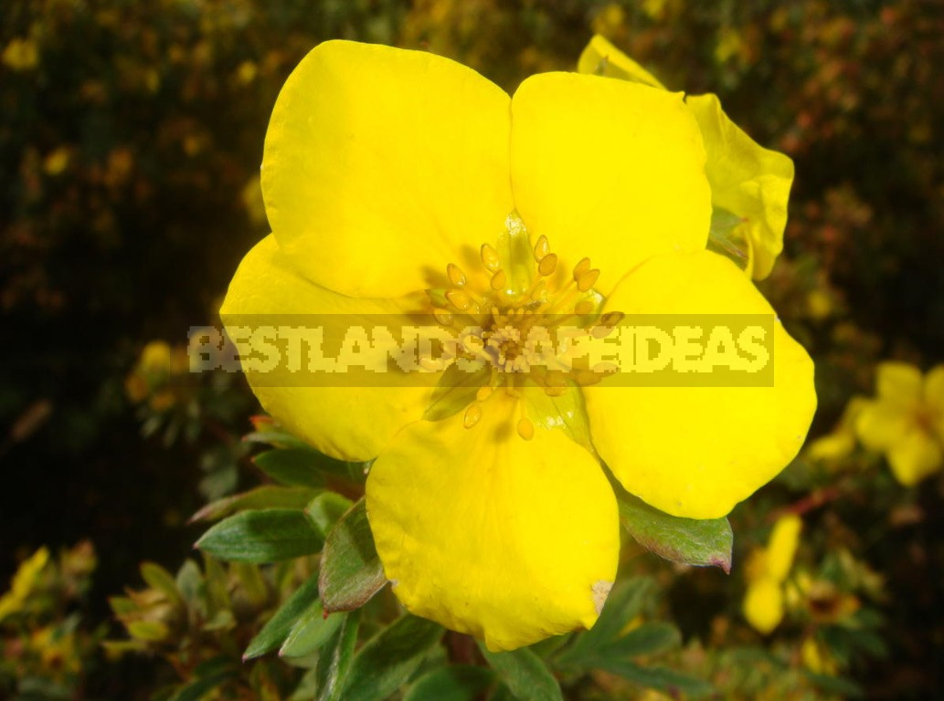 Potentila Fruticosa For Your Garden