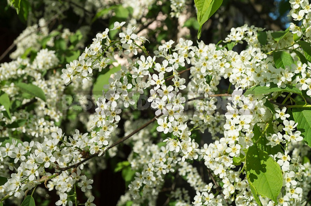 Prunus Padus Flour: What Is Useful And How To Prepare It