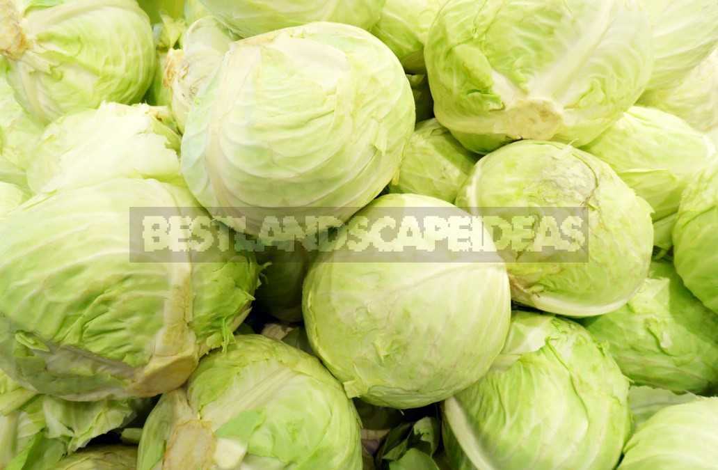 Top Dressing For Cabbage — Scheme Of Top Dressing For The Season (Part 2)