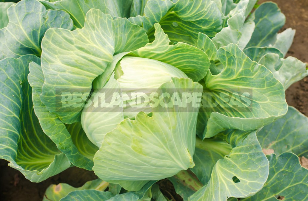 Top Dressing For Cabbage — Scheme Of Top Dressing For The Season (Part 1)