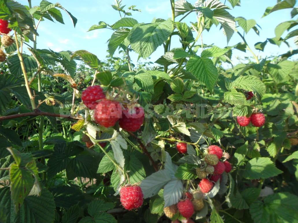 What Raspberries Will Like