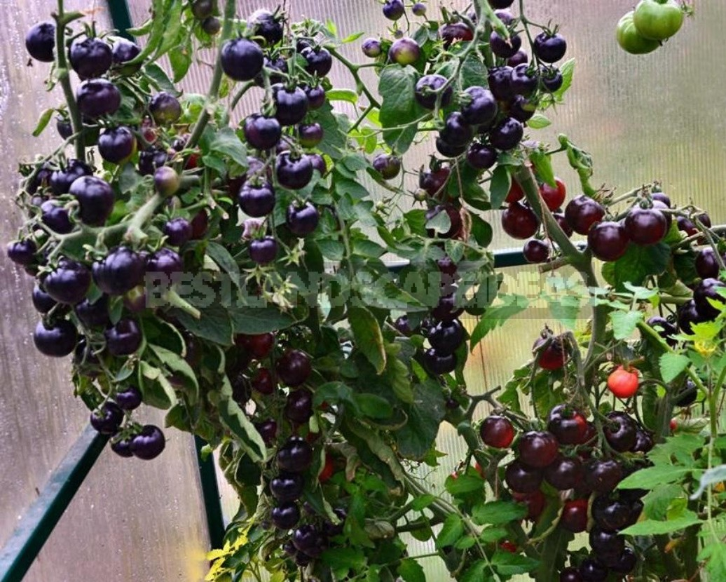 Fighting Off Late Blight Of Tomatoes: Sustainable Varieties, Care And Prevention