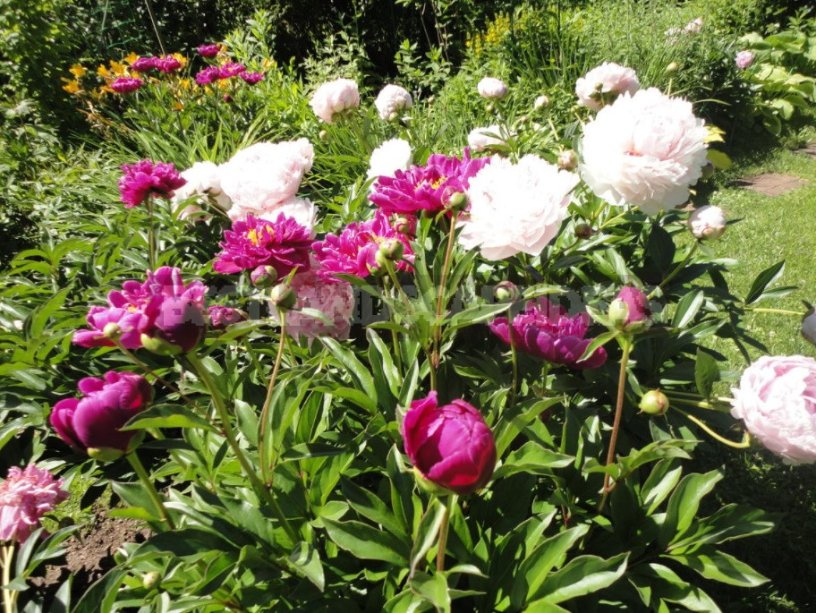 How To Make Peonies Bloom If They Persist In Refusing To Do So