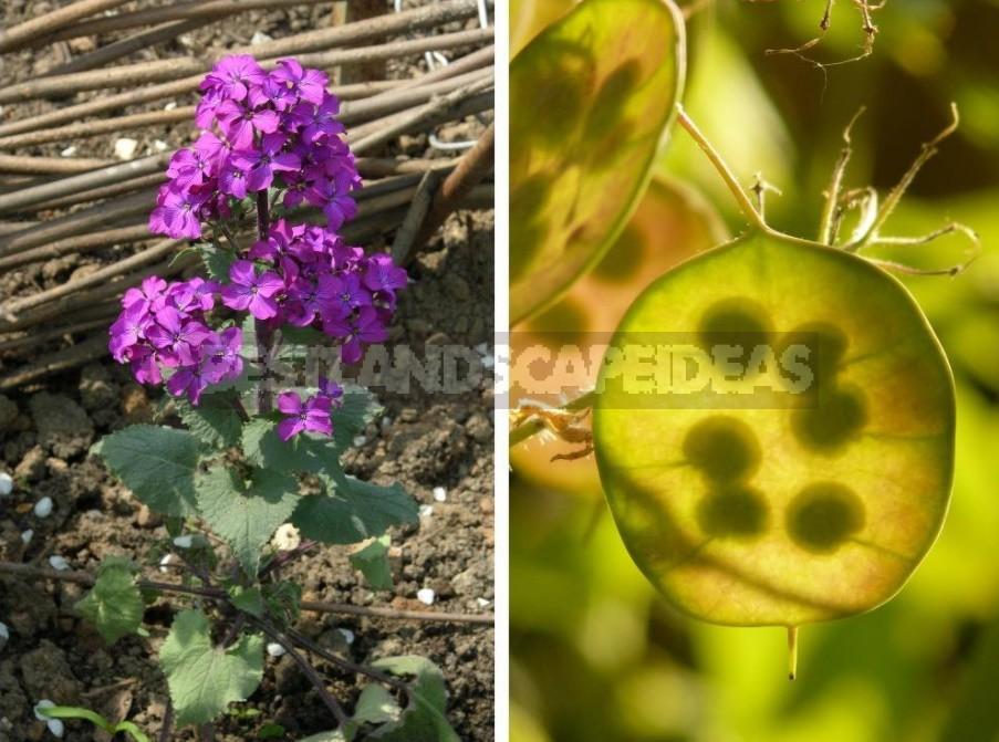 Lunaria: Photos, Description Of Species, Cultivation
