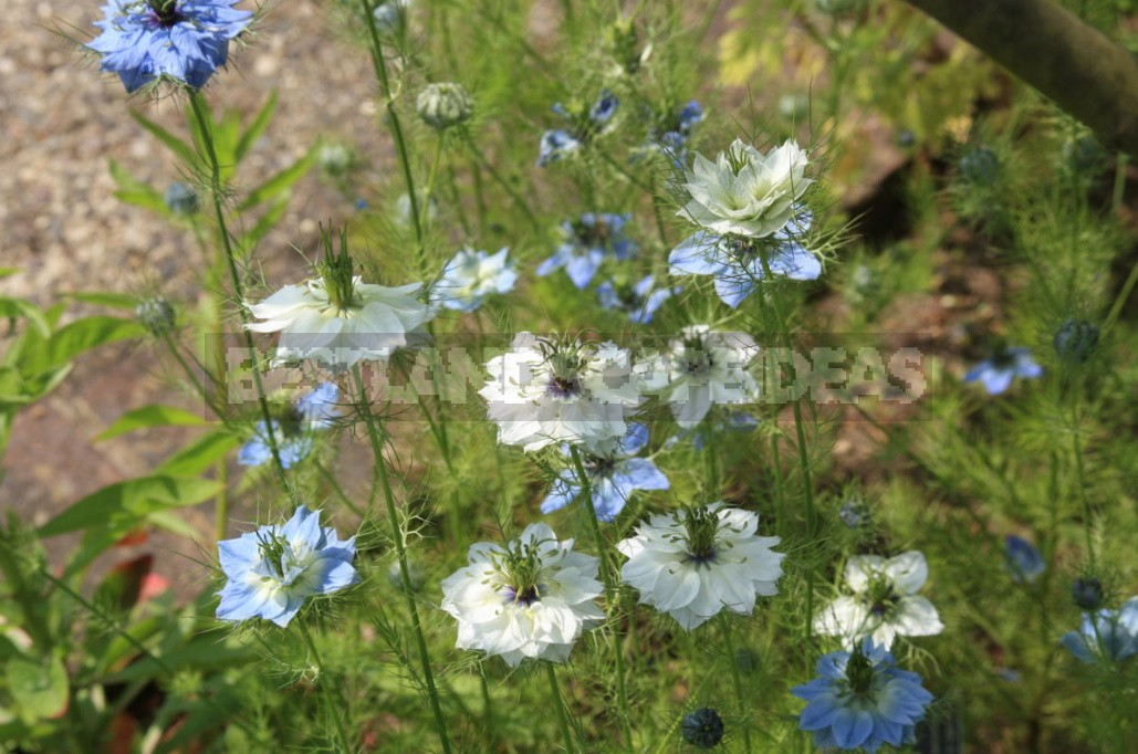 Nigella: Types, Photos, Cultivation And Use