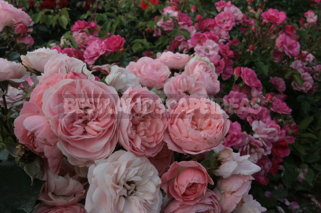The Main Diseases Of Roses. Who Is To Blame And What To Do (Part 1)
