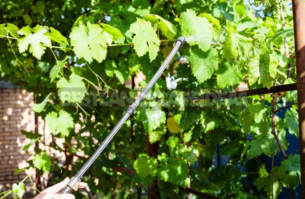 Top Dressing Of Grapes: Principles Of Fertilization