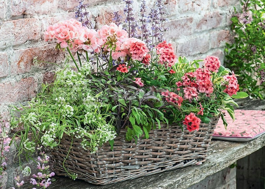 Verbena Is An Ideal Plant For a Balcony Or Terrace
