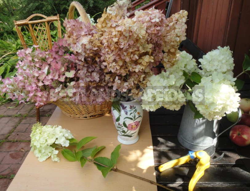 Everything You Wanted To Know About Hydrangea Paniculata Answers To Current Questions (Part 2)