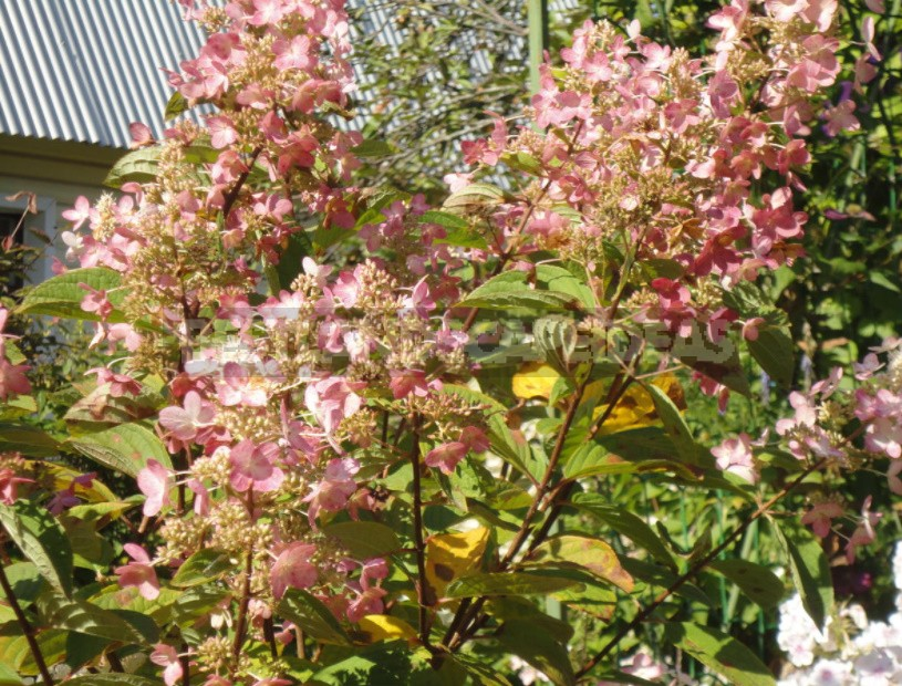 Everything You Wanted To Know About Hydrangea Paniculata: Answers To Current Questions (Part 1)