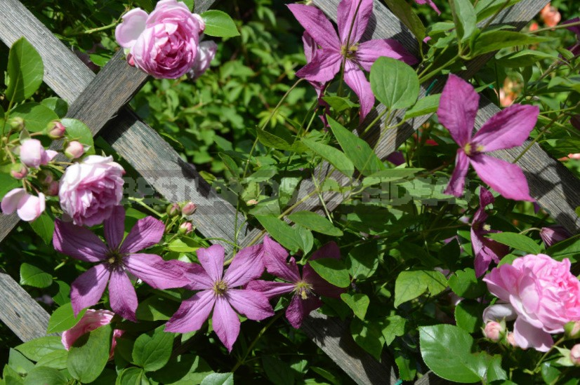 Roses And Clematis: Possible Combinations