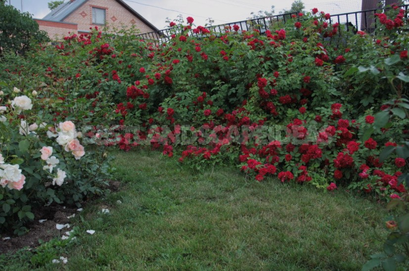 What You Should Know About Climbing Roses: The Recommendations Of The Professional (Part 2)