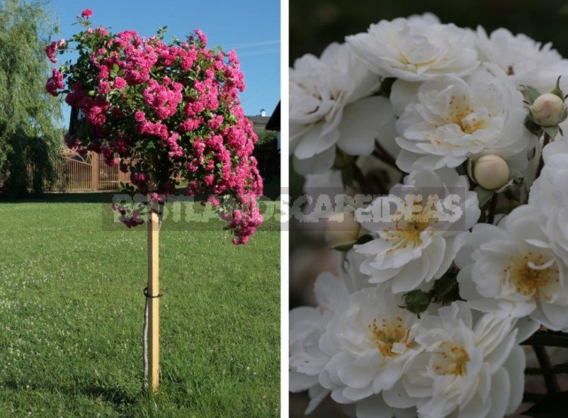 What You Should Know About Climbing Roses: The Recommendations Of The Professional (Part 1)