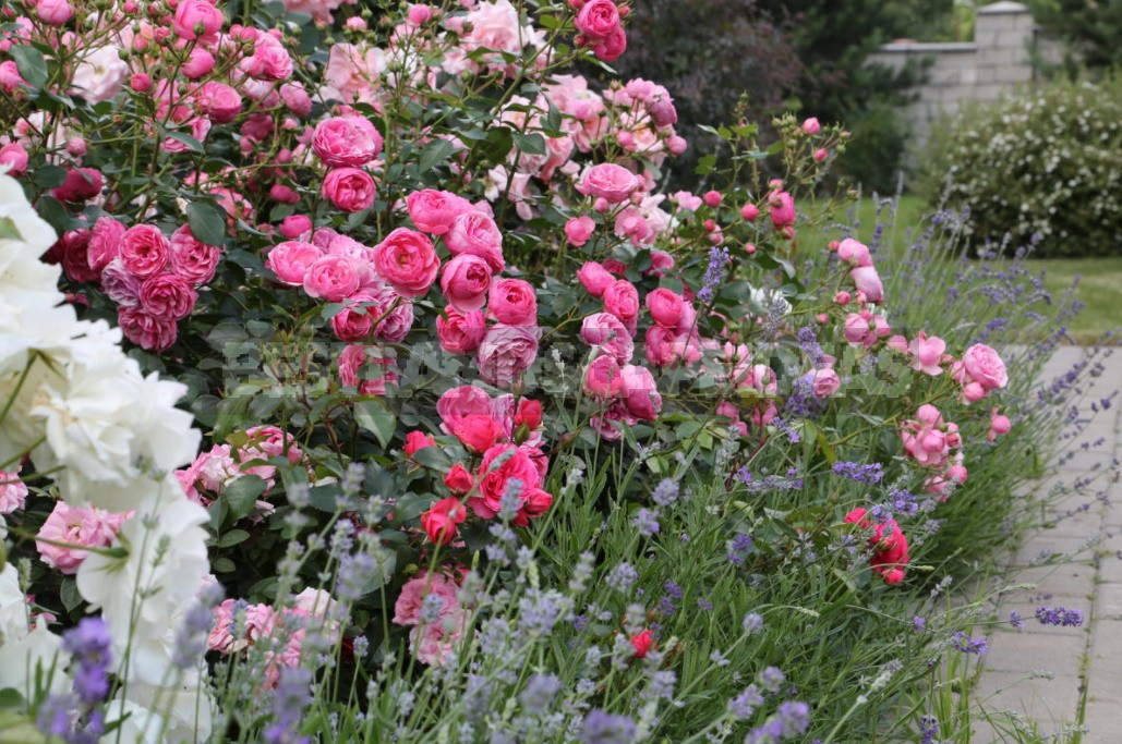 Combination Of Roses By Color: Choosing a Color Scheme For Garden Compositions (Part 2)