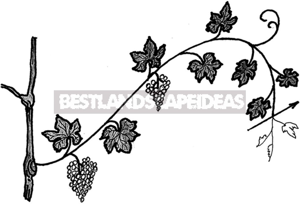 Grape Care: Top Dressing, Watering, Pruning