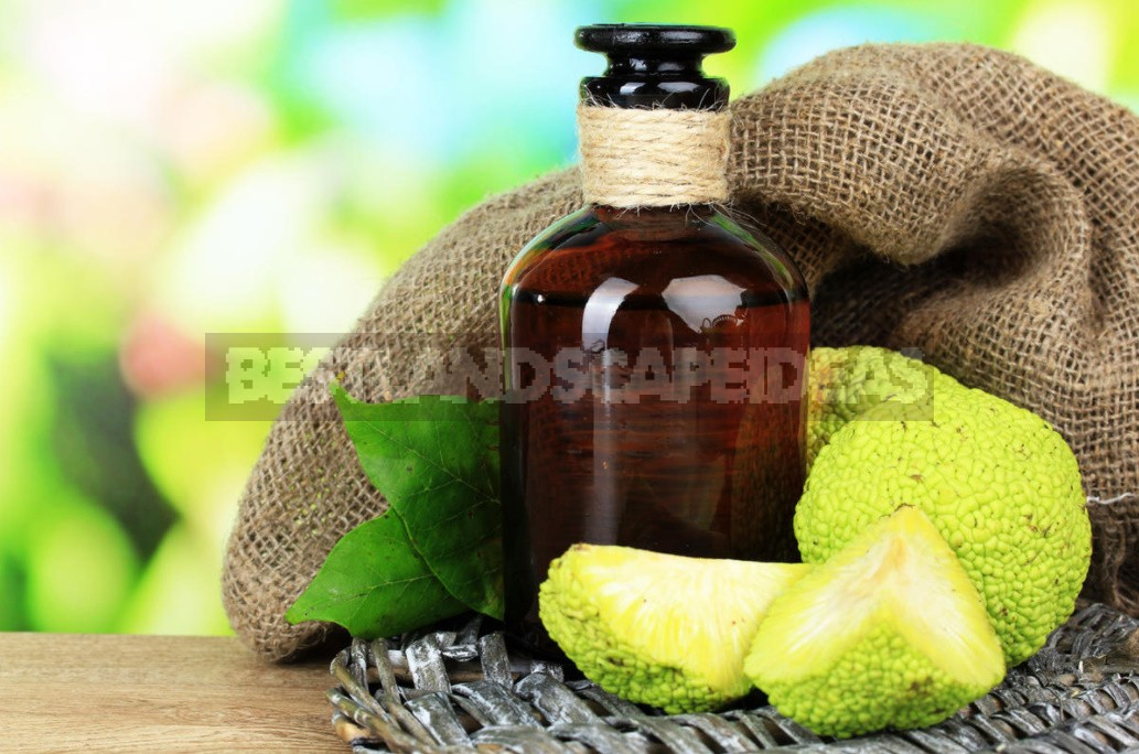 How To Make Maclura Pomifera: Tincture And Extract Recipe