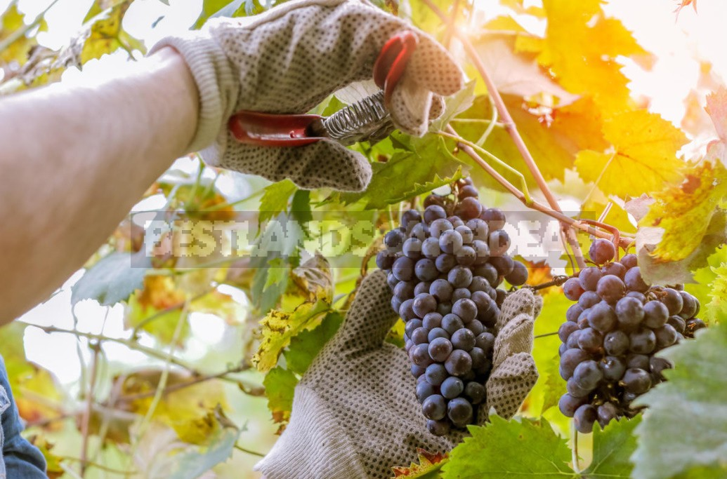 How To Prune Grapes From The First To The Fifth Year Of Cultivation