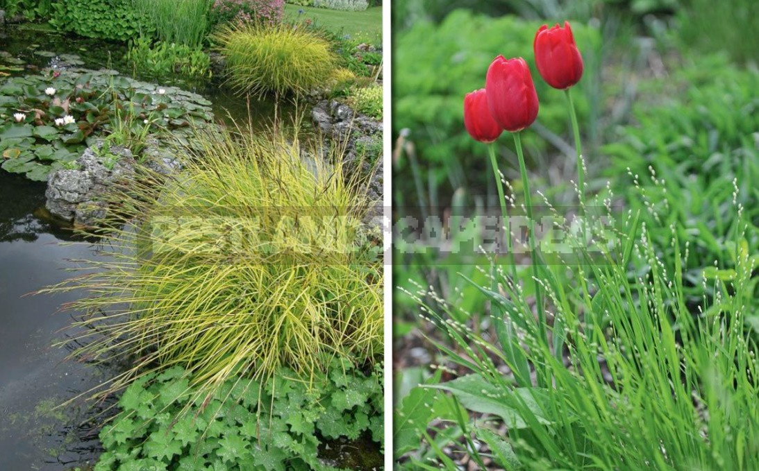 Decorative Cereals In The Garden: Use Cases
