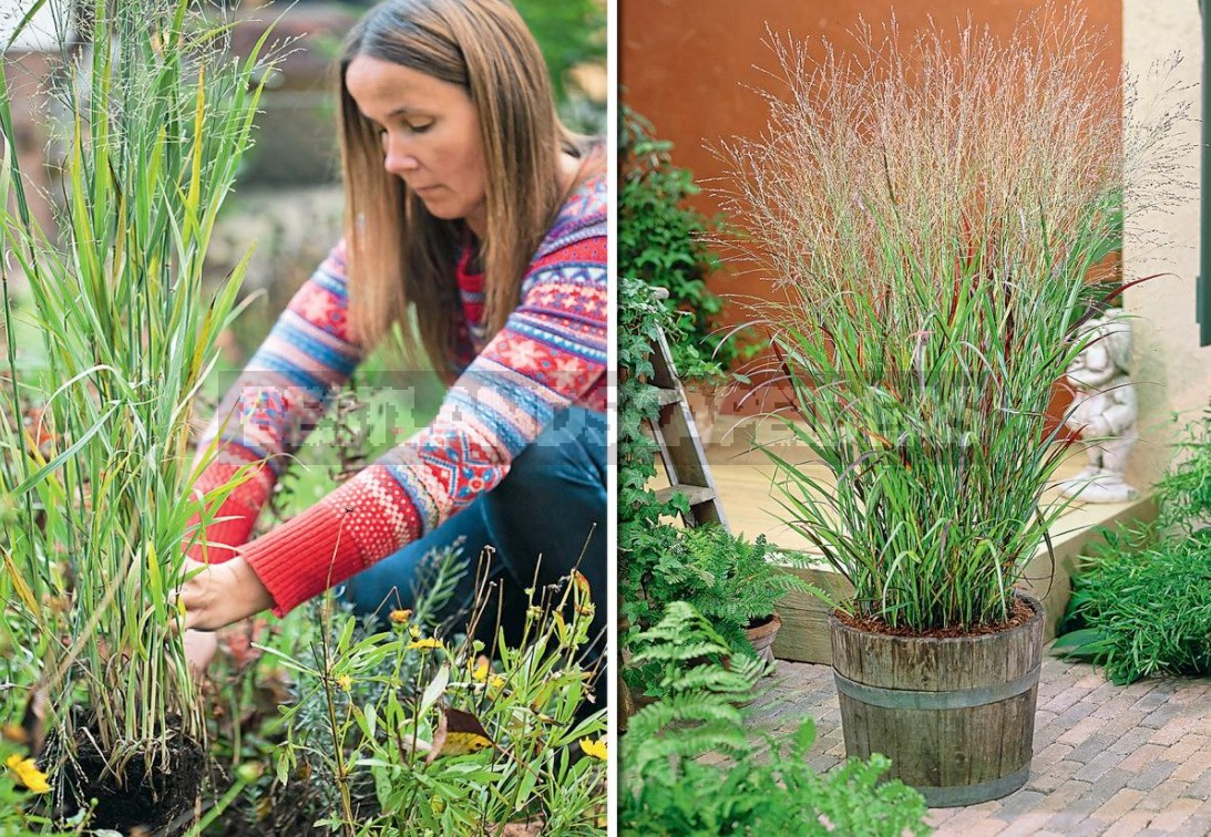 Multicolored Panicum Virgatum: The Most Spectacular Varieties