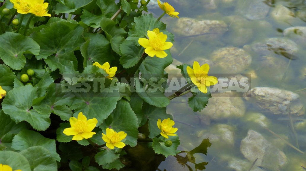 Plants For Garden Reservoirs: Features Of Care And Reproduction