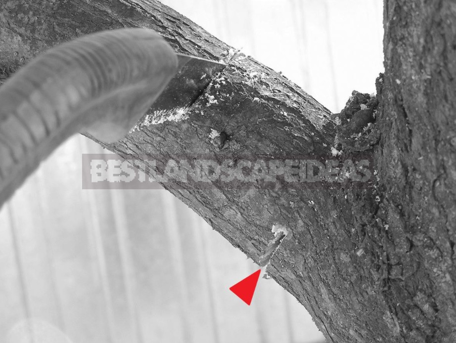 Pruning Fruit Trees: Photos And Tips