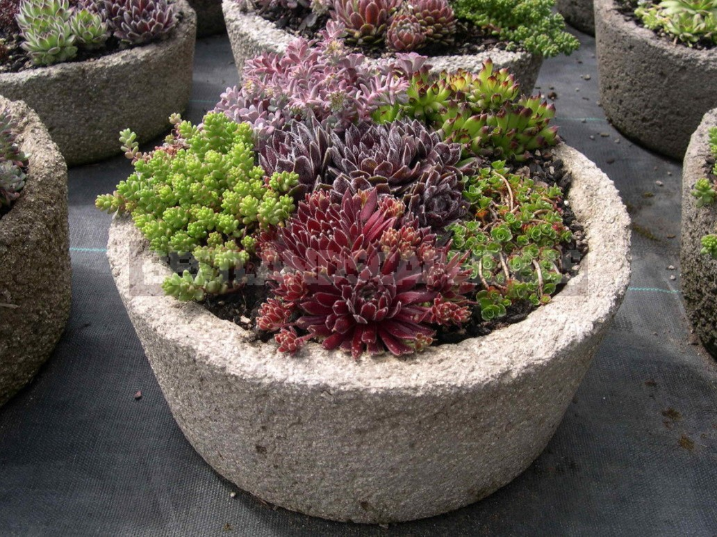 Sempervivum: Landing In The Kettle And On The Roof. Photos And Song Ideas!