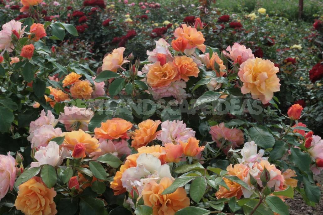 Roses in October: landing, care, preparation for shelter