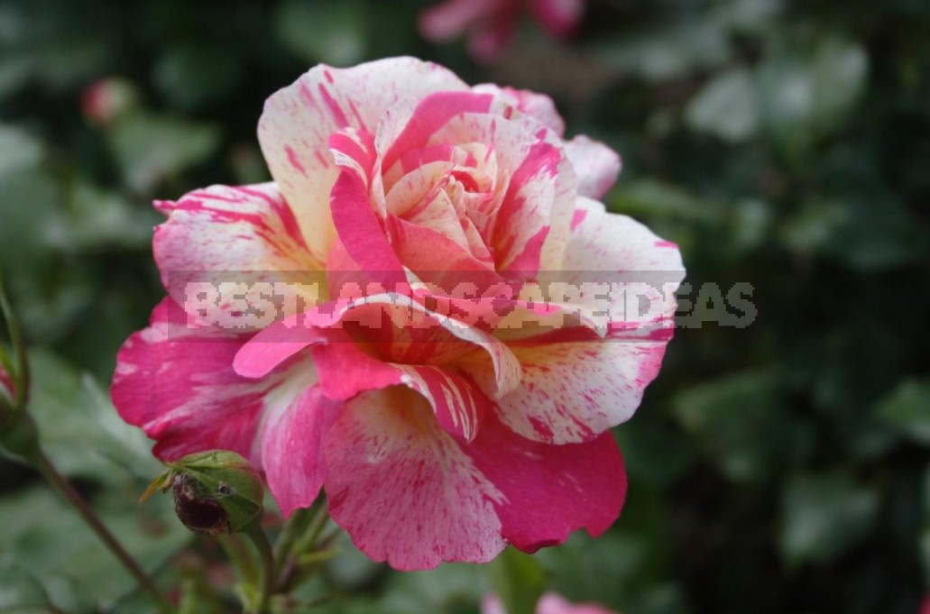 Thorns And Roses: Proven Varieties Of Thornless Roses