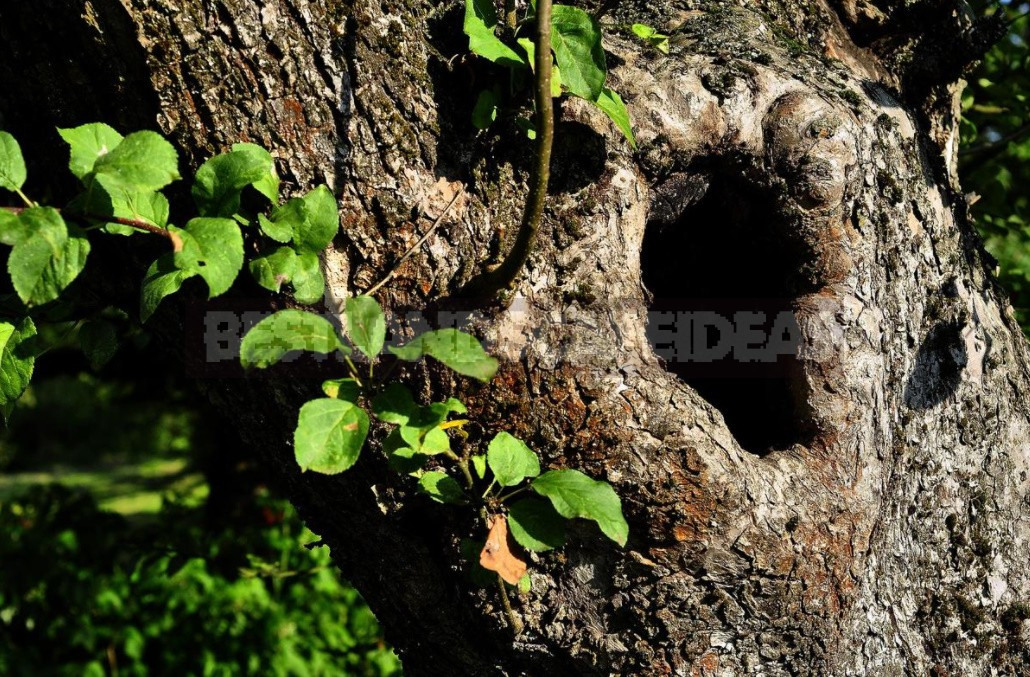 Wounds And Hollows Of Fruit Trees: How To Treat