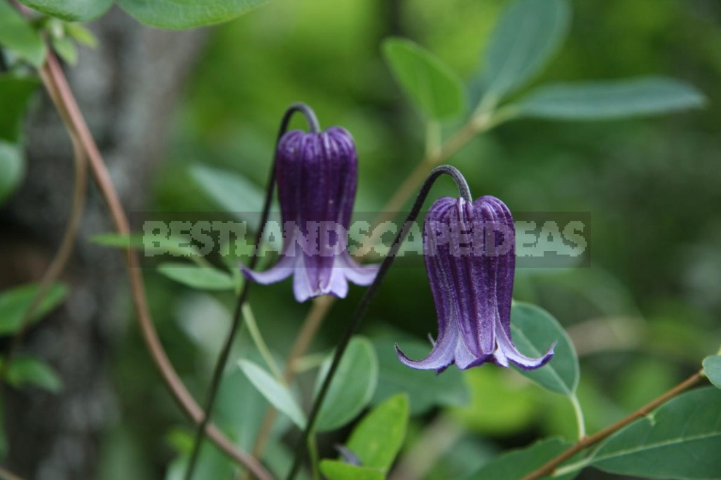 Clematis From My Collection: Types, Varieties, Photos