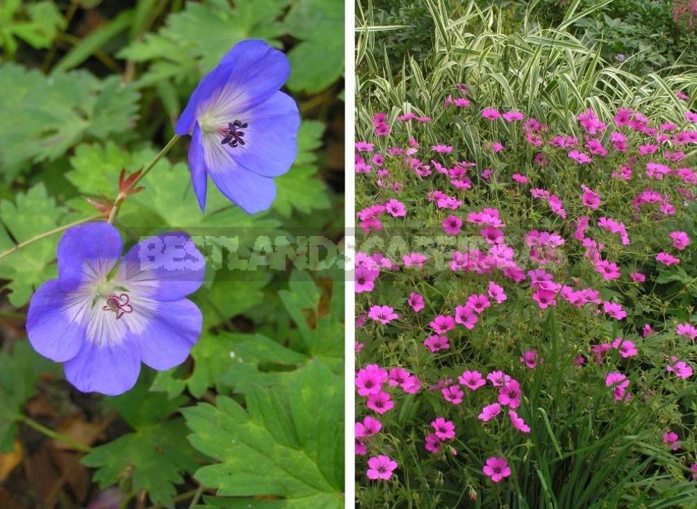 Garden And Wild Geraniums: Types, Photos