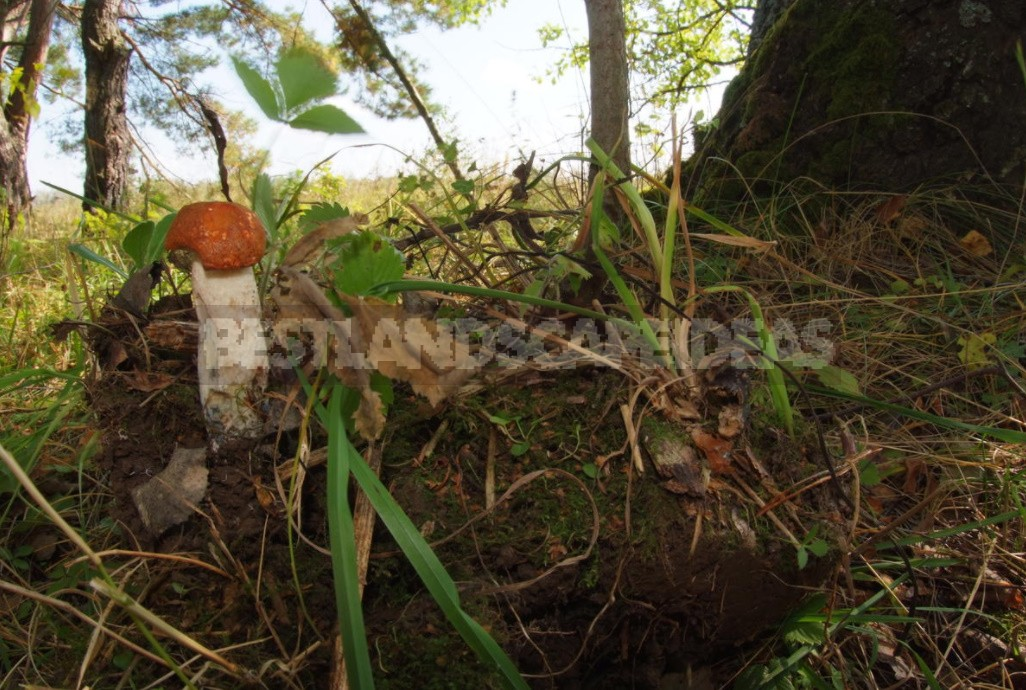 How To Grow Mushrooms In The Country: tips For Transplanting From The Forest And Sowing (Part 1)