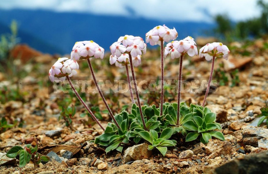 Life On High: The Flora Of Tibet