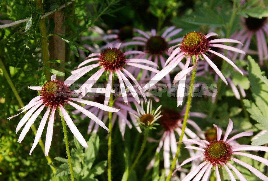 Unpretentious Perennials For The Garden: Cereals, Grasses And Groundcovers