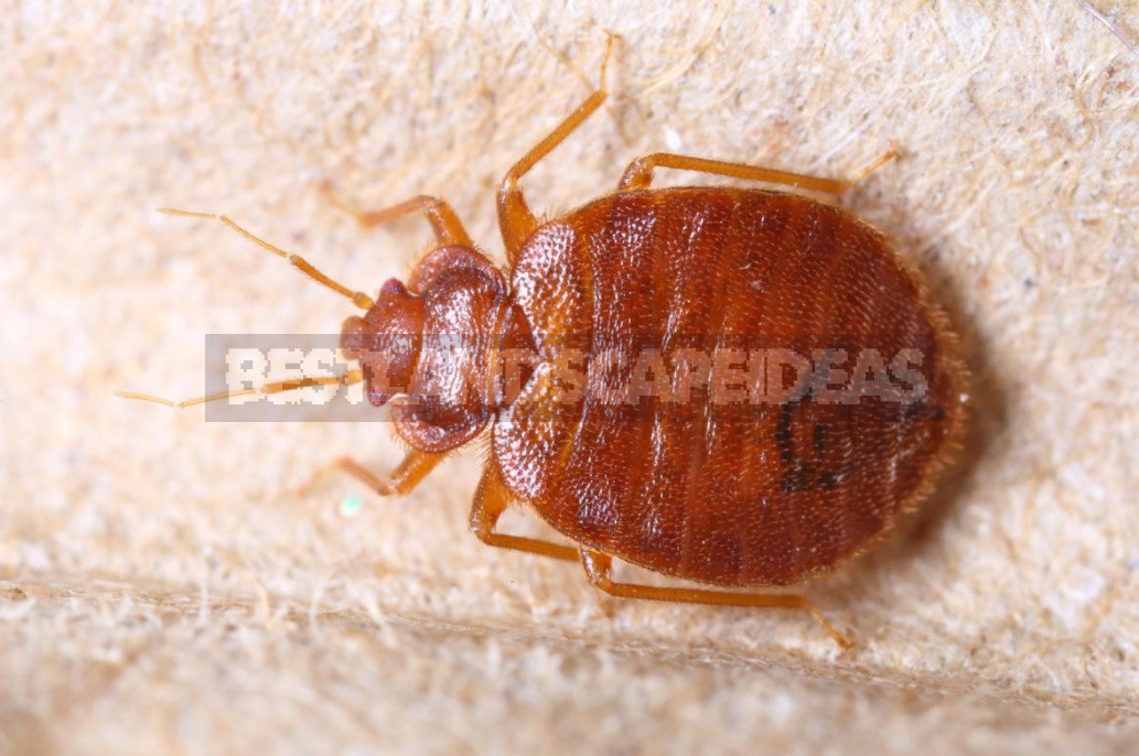 What Are The Dangers Of Bed Bugs And How To Get Rid Of Them (Part 1)