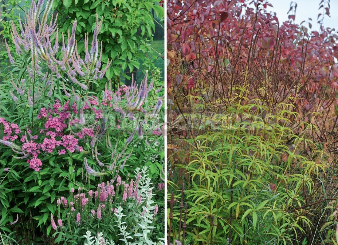 Autumn By Candlelight: Veronicastrum In Your Garden