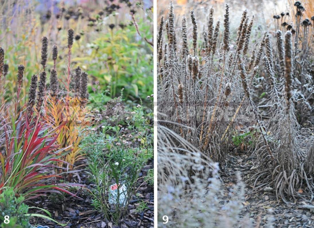 Liatris: Planting, Care, Breeding. Flower Garden Ideas