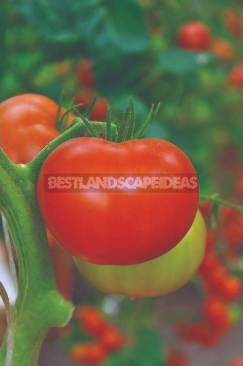 Amazing TomatoesAmazing tomatoes: How Not To Get Confused In Definitions