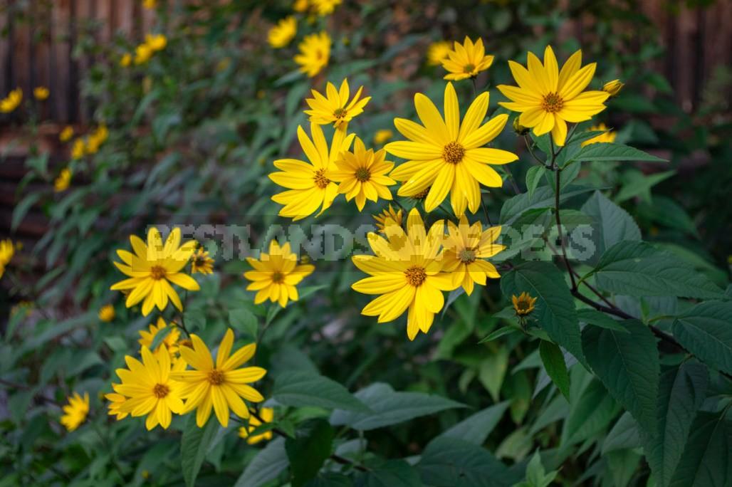 Decorative Sunflower: Varieties, Photos, Place In The Garden