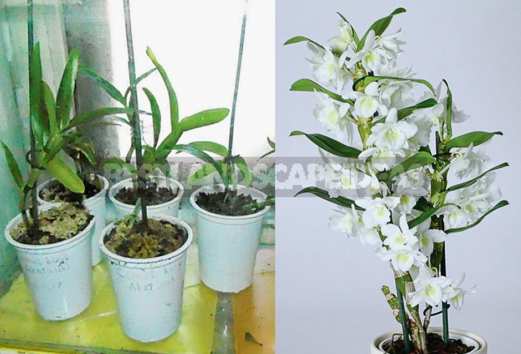 Dendrobium Nobile: a Proven Method Of Reproduction Of The Noble Orchid