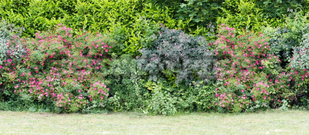 Hedges Of Spruce, Thuja And Deciduous Shrubs (Part 2)