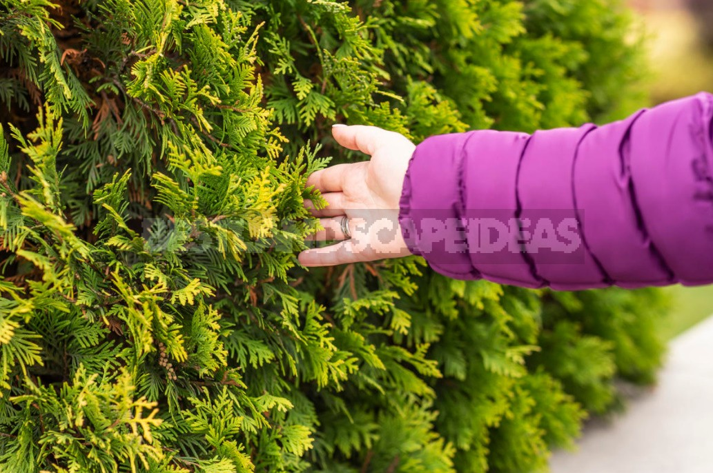 Hedges Of Spruce, Thuja And Deciduous Shrubs (Part 1)