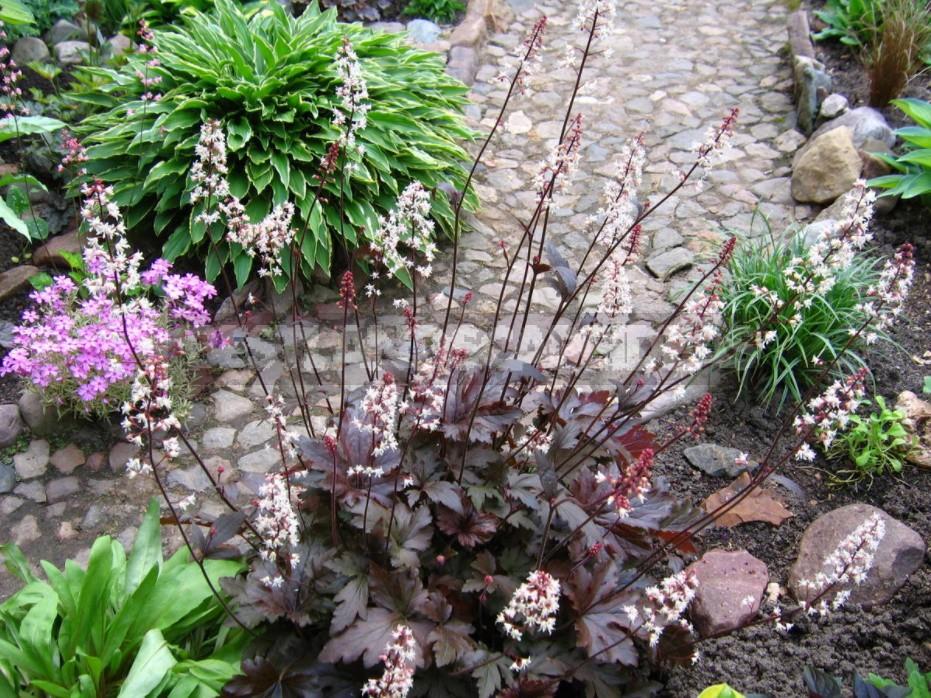 Heucherella: Grades, Partners, Examples Flower Beds (Part 1)