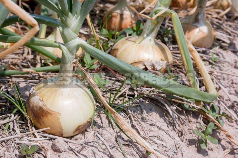 How To Grow Large Onions