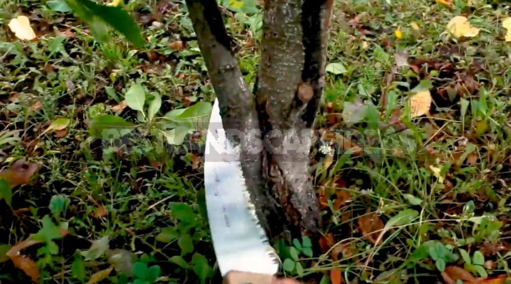 Pruning Plums: How To Do Everything Correctly And Not Harm The Tree