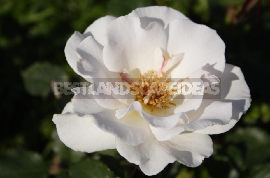 Varieties Of Roses With An Open Middle (Part 2)