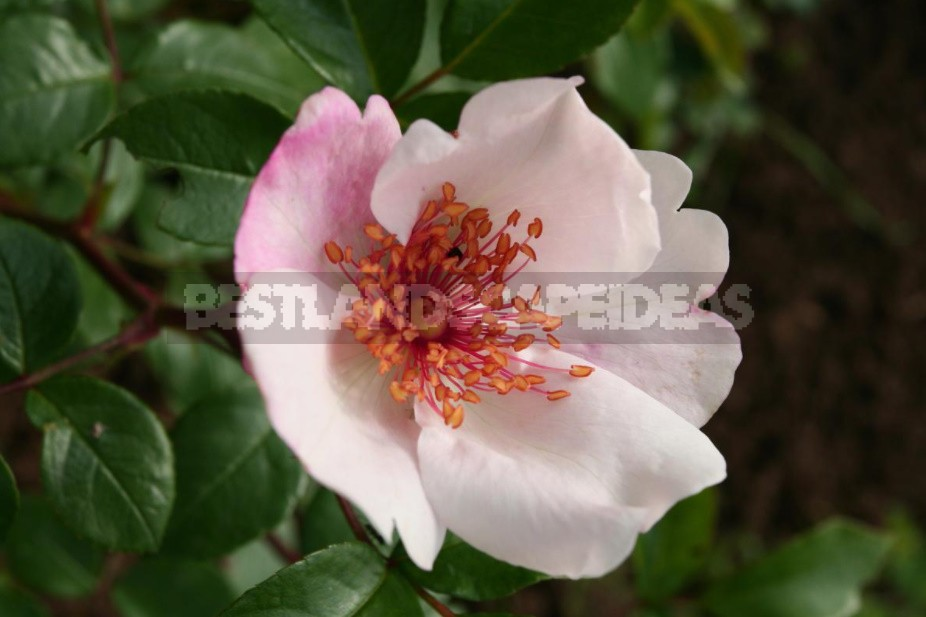 Varieties Of Roses With An Open Middle (Part 1)