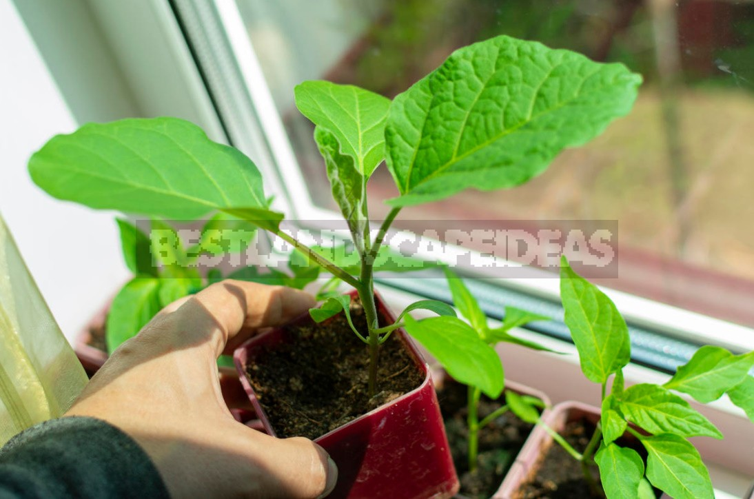 Vegetable Garden On The Windowsill: Sowing Vegetable Seeds