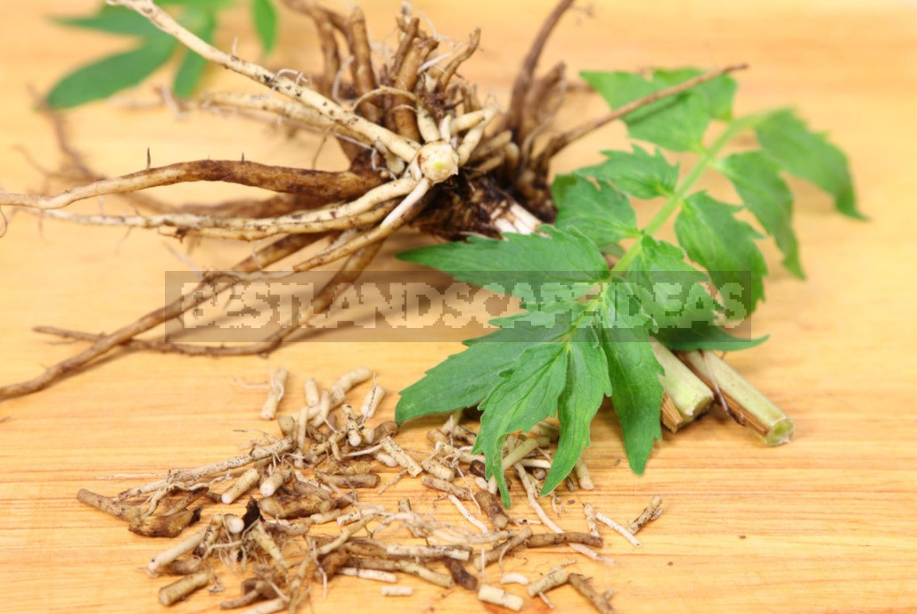 Medicine Or Poison? Dangerous Medicinal Plants For Health (Part 2)
